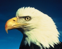 American Prying Eagle